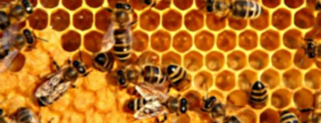All about Honey Bee Propolis